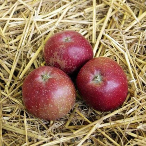 Apfelbaum Roter Eiserapfel 60-80cm - ein Lagerapfel
