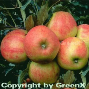 Apfelbaum Elstar 60-80cm - feinwürzig und edel