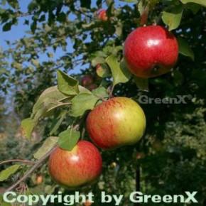 Apfelbaum Gravensteiner 60-80cm - saftig und locker