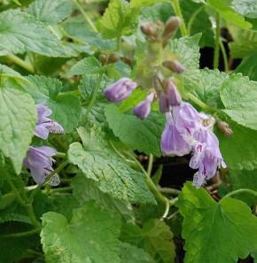 Japanische Taubnessel - Meehania urticifolia