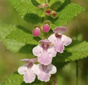 Immenblatt - Melittis melissophyllum