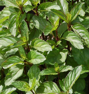 Pfefferminze Orange - Mentha piperita
