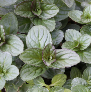 Pfefferminze Lemon - Mentha piperita