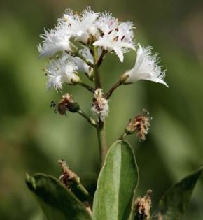 Bitterklee Fieberklee - Menyanthes trifoliata