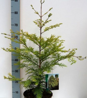 Urweltmammutbaum Chubby 40-60cm - Sequoiadendron giganteum