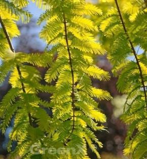 Urweltmammutbaum Chinesisches Rotholz Gold Rush 40-60cm - Sequoiadendron giganteum
