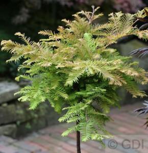 Hochstamm Urweltmammutbaum Miss Grace 125-150cm - Metasequoia glyptostroboides