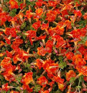 Gauklerblume Orange Glow - Mimulus cupreus