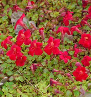 Gauklerblume Highland Red - Mimulus luteus