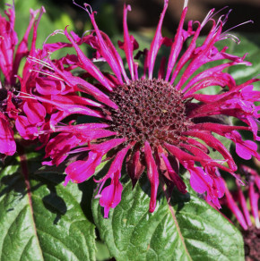Indianernessel Croftway Pink - Monarda fistulosa