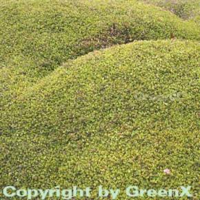 Mühlenbeckie - Muehlenbeckia axillaris