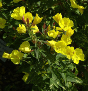 Nachtkerze Camel - Oenothera tetragona