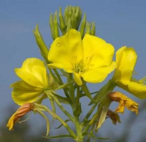 Nachtkerze Erica Robin - Oenothera tetragona