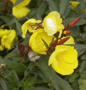 Nachtkerze Fyrverkeri - Oenothera tetragona