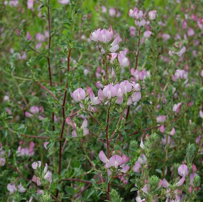 Dornige Hauhechel - Ononis spinosa