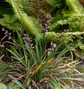 Schlangenbart Minor - großer Topf - Ophiopogon japonicus