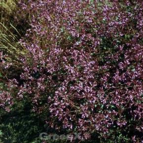 Oregano Purple Charm - Origanum laevigatum