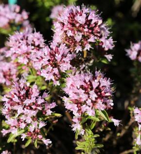 Wilder Majoran Compactum - Origanum vulgare