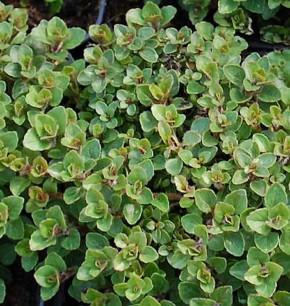 Wilder Majoran Nanum - Origanum vulgare