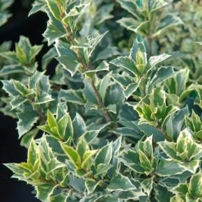 Herbstduftblüte Variegatus 80-100cm - Osmanthus heterophyllus
