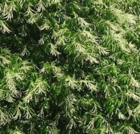 Sauerbaum 40-60cm - Oxydendron arboreum
