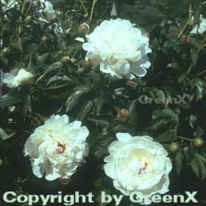 Edelpfingstrose Festiva Maxima - Paeonia lactiflora