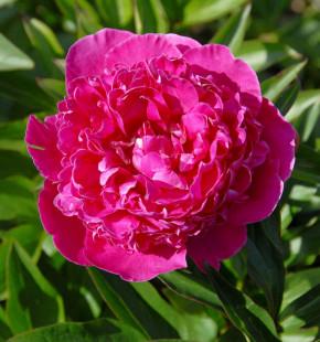 Edelpfingstrose Augustin d Hour - Paeonia lactiflora