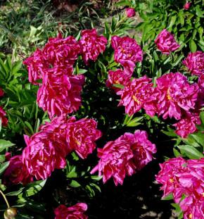 Edelpfingstrose Big Ben - Paeonia lactiflora