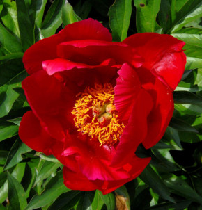Edelpfingstrose Blaze - Paeonia lactiflora