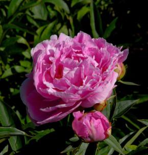 Edelpfingstrose Dr Alexander Fleming - Paeonia lactiflora