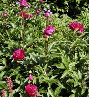 Edelpfingstrose Felix Crousse - Paeonia lactiflora