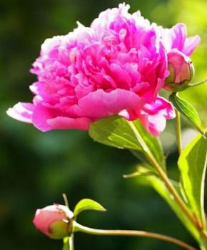 Edelpfingstrose Bunker Hill - Paeonia lactiflora