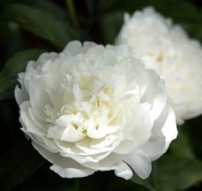 Edelpfingstrose Duchesse de Nemours - Paeonia lactiflora