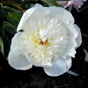 Edelpfingstrose Immaculee - Paeonia lactiflora