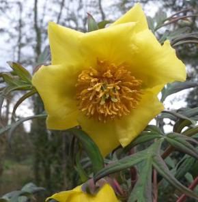 Gelbe Strauchpfingstrose Ludlowii - Paeonia lutea