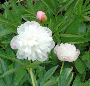 Pfingstrose Alba Plena - Paeonia officinalis