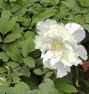 Strauchpfingstrose Godaishu - Paeonia suffruticosa