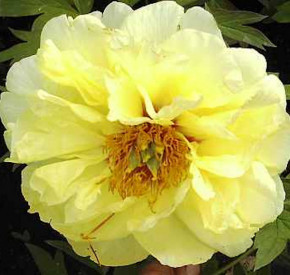 Strauchpfingstrose High Noon - Paeonia suffruticosa