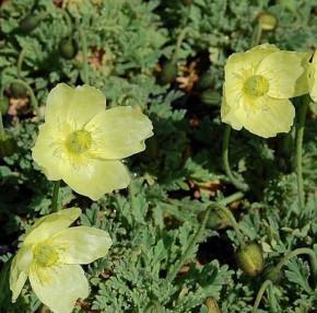 Islandmohn Pacino Yellow - Papaver miyabeanum