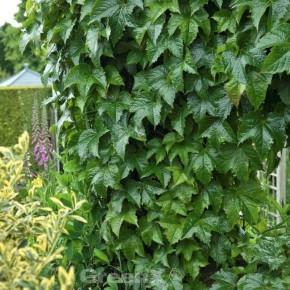 Robuste Jungfernrebe 60-80cm - Parthenocissus tricuspidata