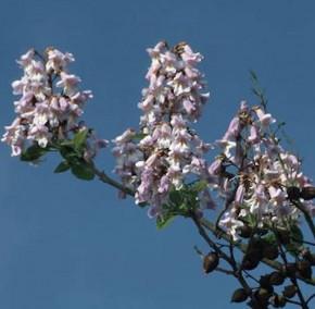 Glockenbaum 100-125cm - Paulownia catalpifolia