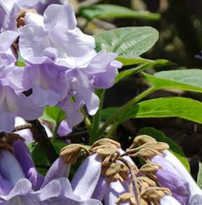 Blauglockenbaum Hulsdonk 40-60cm - Paulownia tomentosa