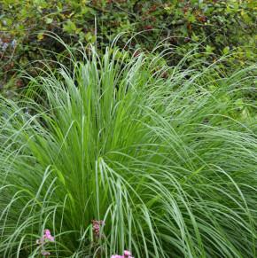 Japanisches Lampenputzergras - Pennisetum alopecuroides