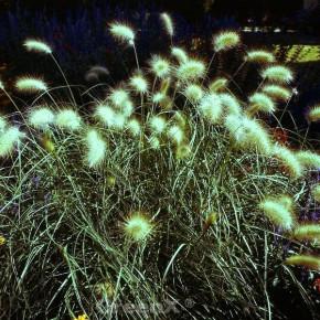 Wolliges Federborstengras - Pennisetum villosum