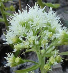Pestwurz Albus - Petasites albus