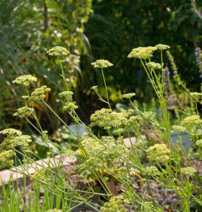 Petersilie Gigante de Italia - Petroselinum crispum