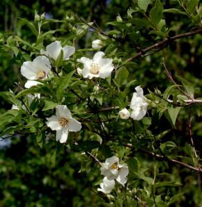Gartenjasmin Belle Etoile 40-60cm - Philadelphus