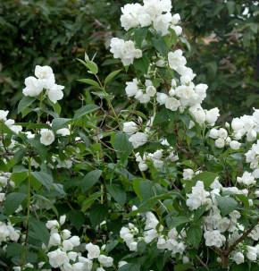Gartenjasmin Bouquet Blance 100-125cm - Philadelphus