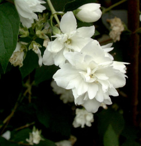 Gartenjasmin Minnesota Snowflake 60-80cm - Philadelphus