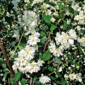 Zwerg Jasmin Little White Love® 40-60cm - Philadelphus coronarius